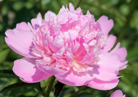Close-up photograph of Pink Peonies