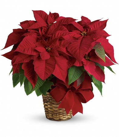 Red Poinsettia plant delivered in a basket with a bow.