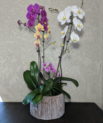 Assortment of mini orchid plants in a premium container with decorative moss.