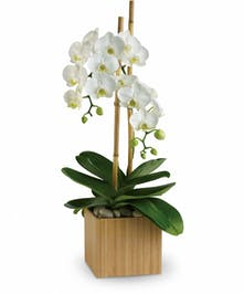 White phalaenopsis orchid plant in a bamboo cube.