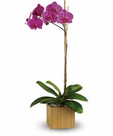 Purple phalaenopsis orchid plant in a bamboo cube.