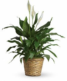 Spathiphyllum plant with white blooms and greenery in a woven wicker basket.