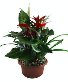 Tropical dish garden with a bromeliad, anthirium, and spathiphyllum plant accented with river rock.